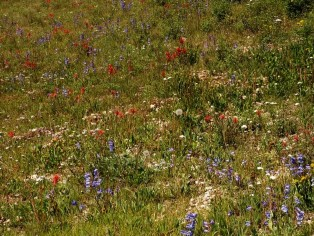 field-of-wildflowers-by-cedar-breaks