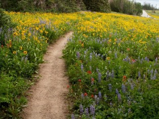 wildflower-path-at-cedar-breaks