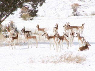 antelope-off-hwy-89-east-of-panguitch-1